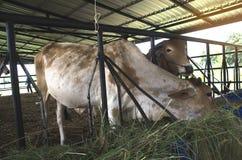 As vacas são alimentadas rebanhos animais Imagem de Stock Royalty Free