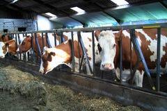 As vacas são animais de exploração agrícola reais Fotos de Stock Royalty Free
