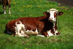 As vacas são os animais de exploração agrícola populares que são encontrados pelo mundo inteiro fotos de stock