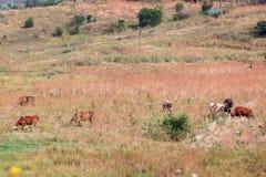 As vacas são pastadas Imagens de Stock