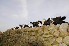 As vacas são tais animais nosy. Foto de Stock