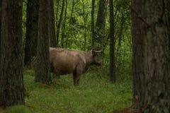 As vacas selvagens curiosas em uma floresta serem de mãe a vacas com vitela Fotos de Stock Royalty Free