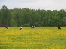 As vacas Variegated pastam na primavera no campo de flores do dente-de-leão fotografia de stock