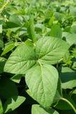 As vagens do feijão de soja e o feijão de soja folheiam com haste do feijão de soja que ainda fundo verde, agrícola novo da plant Fotos de Stock