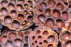 As vagens secas dos lótus com alguns sementes e furos vazios fecham-se acima para a terra traseira Haste da semente Projeto de pl imagens de stock royalty free