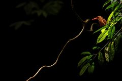 As varas felizes do coromanda do martinho pescatore corado em um ramo na selva indonésia, Alcedinidae da família, espécie endêmic fotos de stock