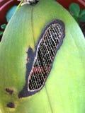 As veias Reticulate das folhas estão emergindo fotos de stock