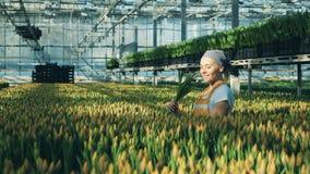 As verificações felizes do trabalhador da estufa recolheram as tulipas, olhando as filme