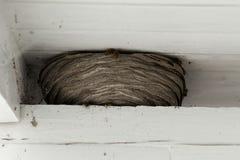 As vespas aninham-se entre os feixes de madeira brancos no telhado de uma casa fotografia de stock
