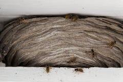 As vespas aninham-se entre os feixes de madeira brancos no telhado de uma casa imagens de stock