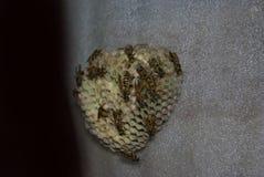 As vespas constroem um Vespiary do ninho Close-up imagens de stock