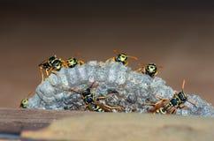 As vespas constroem uma família da vespa do ninho que senta-se em um ninho imagens de stock
