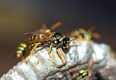 As vespas constroem uma fam?lia da vespa do ninho que senta-se em um ninho foto de stock royalty free