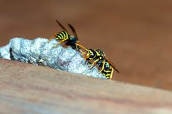 As vespas constroem uma fam?lia da vespa do ninho que senta-se em um ninho imagens de stock royalty free