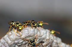 As vespas constroem uma fam?lia da vespa do ninho que senta-se em um ninho fotos de stock royalty free