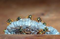 As vespas constroem uma fam?lia da vespa do ninho que senta-se em um ninho fotografia de stock royalty free