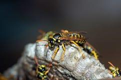 As vespas constroem uma fam?lia da vespa do ninho que senta-se em um ninho fotos de stock