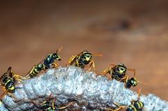As vespas constroem uma fam?lia da vespa do ninho que senta-se em um ninho imagem de stock royalty free