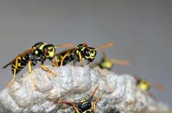 As vespas constroem uma fam?lia da vespa do ninho que senta-se em um ninho foto de stock