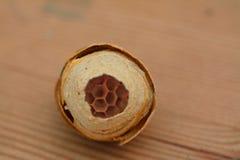 As vespas de surpresa aninham mostrar pilhas minúsculas foto de stock
