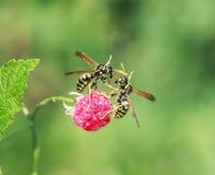 As vespas dos insetos voaram no jardim para o aroma de maduro e do ju imagens de stock