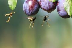 As vespas perigosas listradas dos insetos voaram em um jardim em wi de um ramo imagens de stock