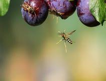 As vespas perigosas listradas dos insetos voaram em um jardim em wi de um ramo imagem de stock