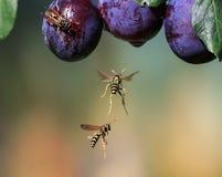 As vespas perigosas listradas dos insetos voaram em um jardim em wi de um ramo foto de stock