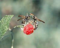 As vespas voaram no jardim para o aroma do raspb maduro e suculento foto de stock royalty free