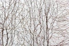 As videiras secas cobrem a parede fotografia de stock