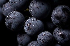 As vinhas isoladas, água deixam cair, tiro macro, backgroun preto foto de stock