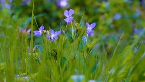 As violetas delicadas da floresta vibram no vento claro perto das lâminas de grama com gotas de orvalho no por do sol do verão filme