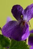 As violetas minúsculas, mola são já aqui Imagem de Stock Royalty Free