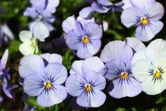 As violetas são não somente bonitas, mas são igualmente comestíveis e saudáveis Fotos de Stock