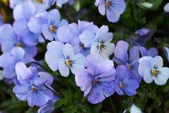 As violetas são as plantas fortes que florescem por muito tempo mesmo quase todo o inverno Fotografia de Stock Royalty Free