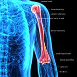 3D Illustration of Human Body Bone Joint Pains Anatomy Humerus Stock Photography