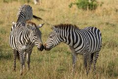 As zebras cheiram para cheirar fotos de stock