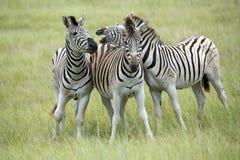 As zebras de Burchell em África do Sul Imagens de Stock Royalty Free