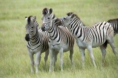 As zebras de Burchell em África do Sul Fotos de Stock Royalty Free