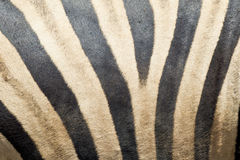 As zebras descascam e pele Fotos de Stock Royalty Free