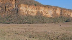 As zebras e os javalis africanos africanos estão seguindo-se na terra empoeirada filme