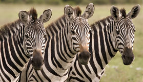 As zebras fecham-se acima Fotografia de Stock