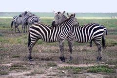As zebras no parque nacional de Serengeti Imagem de Stock Royalty Free
