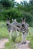 As zebras que prestam atenção como os fotógrafo começ mais perto Imagem de Stock Royalty Free
