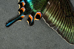 Asa da borboleta Foto de Stock