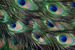 Asa da textura do verde do pavão da cauda imagens de stock royalty free