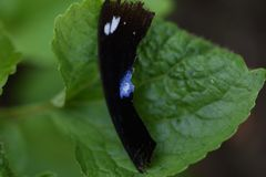 Asa de Brocken da borboleta imagens de stock