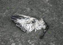 Asa rasgada de um pássaro que encontra-se na terra na poeira fotos de stock