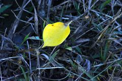 ASacred无花果在绿草的peeple叶子 免版税库存照片