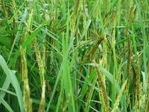 Asai del arroz Imágenes de archivo libres de regalías